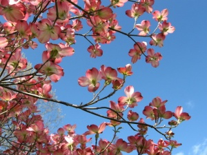 Pink Dogwood against the sky